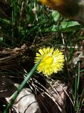 Tussilago de Coltsfoot Photo stock