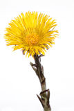 tussilago farfara Stock Photo