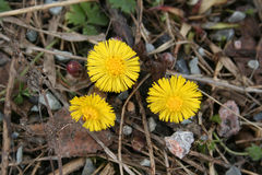 Tussilago farfara Stockfotos