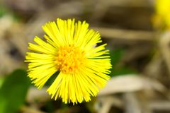 Tussilago farfara is the only accepted species in the genus Tussilago royalty free stock photo
