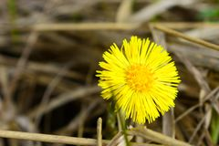 Tussilago farfara is the only accepted species in the genus Tussilago royalty free stock images