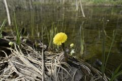Tussilago farfara is the only accepted species in the genus Tussilago. Although more than two dozen other species have at one time or another been considered royalty free stock images