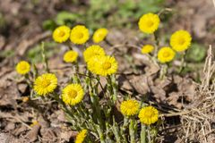 Tussilago farfara Asteraceae medical herbs and flowers. Whole heads of medicinal flowers in the wild, spring primrose. Coltsfoot foalfoot stock image
