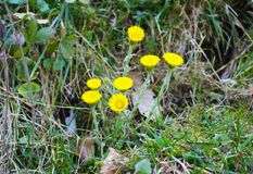 Tussilago farfara common Coltsfoot in the forest stock photography