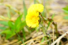 Tussilago farfara, commonly known as coltsfoot stock photos