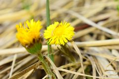 Tussilago farfara, commonly known as coltsfoot royalty free stock photos