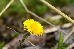 Tussilago farfara, commonly known as coltsfoot royalty free stock photography