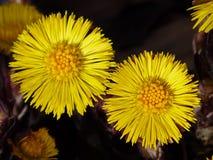 Tussilago Farfara, Flower, Macro Stock Photography