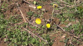 Tussilago farfara flowering in the clay soil stock video