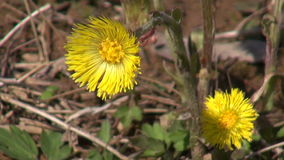 Tussilago farfara flowering stock footage