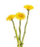 Tussilago farfara flowers Royalty Free Stock Image