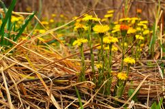 Tussilago farfara L in early spring stock images