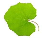 Tussilago farfara leaf Stock Image