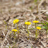 Tussilago farfara, spring primroses Royalty Free Stock Photo