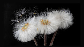 Tussilago farfara. Weightless and graceful seeds fly under the breath of the breeze Stock Image