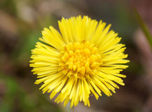 Tussilago flower. On a background of grass Royalty Free Stock Photo