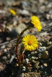 Tussilago Royalty Free Stock Photos