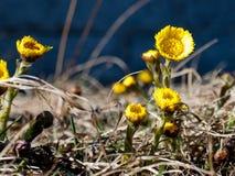 Tussilago på våren Arkivfoton