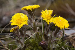 Tussilago Royalty Free Stock Images
