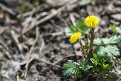 Tussilagoblomma på våren Royaltyfri Bild