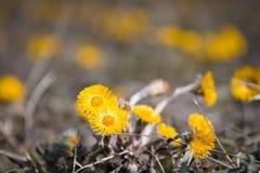 Tussilagoblommor i en vår sätter in enjoing av en härlig solig dag Arkivfoton