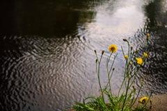 Tussilagoen Farfara växer på asfalten på bakgrund av floden arkivfoton