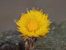 TussilagoTussilagofarfara - liten gul blomma fotografering för bildbyråer