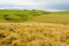 Tussock Новой Зеландии Стоковые Изображения
