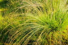 Tussock of bunchgrass from close Royalty Free Stock Images
