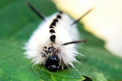 Tussock Caterpillar del hickory Fotografia Stock