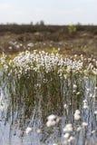 Tussock cottongrass - bagno staw Zdjęcia Royalty Free