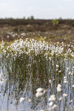 Tussock cottongrass - bog pond Royalty Free Stock Photos
