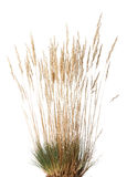 Tussock of dry grass with panicle. Closeup of yellow dried grass with panicle bunch clustered in tussock in autumn, isolated on white Royalty Free Stock Photos