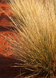 Tussock Grass. In the Outback of Australia in morning light Royalty Free Stock Image