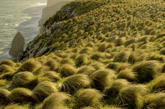 Tussock grass at sunset. Coastal tussock grass at sunset on very windy day, Dunedin, New Zealand Stock Photography