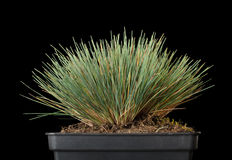 Tussock of green grass in pot Stock Photos