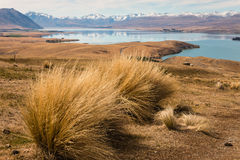 Tussock growing above lake Tekapo Royalty Free Stock Photo