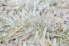 Tussock icy grass on a winter day, close-up Stock Photography