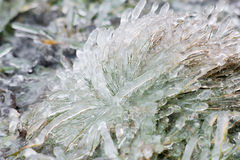 Tussock icy grass on a winter day Stock Photo