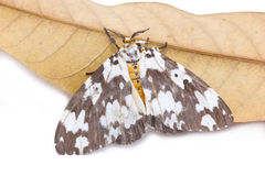 Tussock Moth Butterfly With Dried Mango Leaf. stock photography