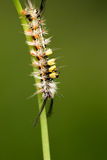 Tussock Moth Caterpillar Royalty Free Stock Photos