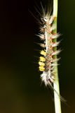 Tussock Moth Caterpillar Stock Image