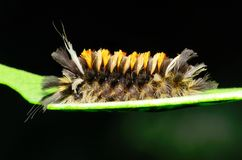 Tussock Moth Caterpillar Royalty Free Stock Images