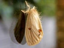 Tussock Moth Stock Image