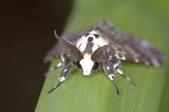 Tussock moth. Is stay in on the grass leaf Royalty Free Stock Photos