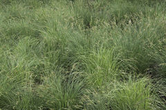 Tussock Sedge Royalty Free Stock Images