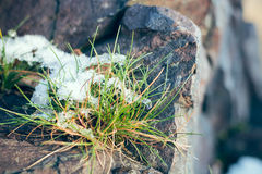 Tussock with snow Stock Photos
