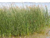A tussock of Soft rushes, Juncus effusus Stock Photography