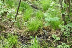 Tussocks of grass. Growing in the wetland Stock Photo