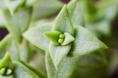 Tłustoszowata roślina makro- Obraz Stock